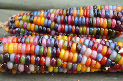 40Pcs Rainbow Colorful Corn Seeds Sweet Organic GLASS GEM Corn Seeds Vegetable
