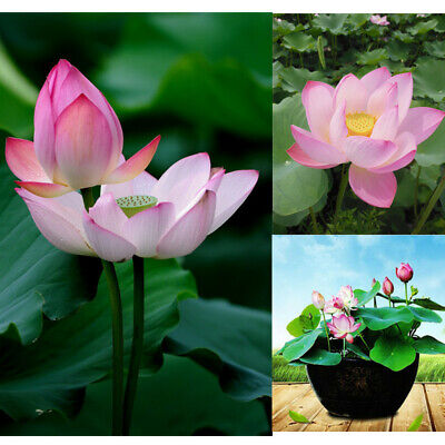 10pcs Mixed Color Lotus Seeds Bowl Water Lily Pad Nelumbo Pond Plants Flower