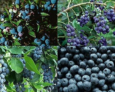 5X Extra Large Blueberry Bush Mixed Selection Pack - Fruit Plants - 4L Potted