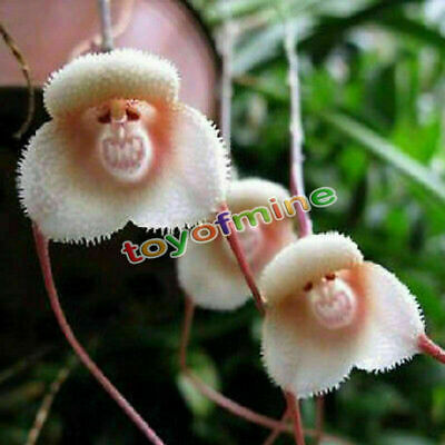 10pcs Strange Rare Monkey Face Flower Plant Seeds Four Seasons Planting Seed
