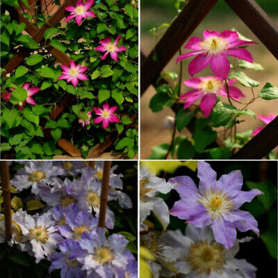 50Pcs Mixed Color Clematis Flower Seeds Garden Balcony Climbing Plants Seeds DEN