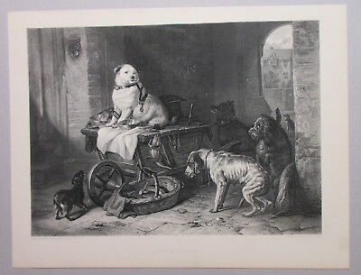 Early Bully Breed Dog With Other Dogs Antique Art Print Engraving 1888