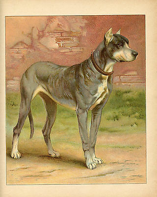 Great Dane Dog Pets Animals Antique Dog Lithograph 1892