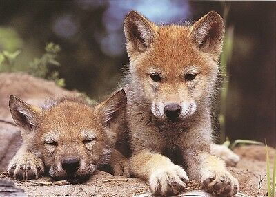 WILDLIFE PHOTO Art PRINT - Spring Wolf Pups by Art Wolfe Wolves Poster 32x23