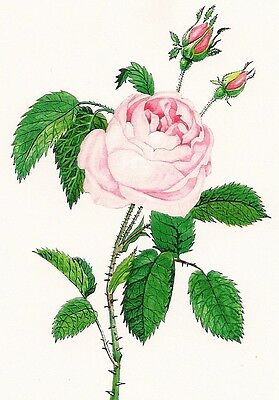5x7 PRINT OF PAINTING RYTA PINK ROSE FRENCH ANTIQUE STYLE ART VALENTINES DAY