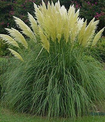 1X 4Ft Extra Large Cortaderia Selloana White Pampas Grass - Established - 7.5L