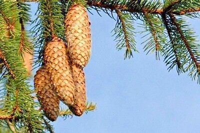 20 NORWAY SPRUCE TREE SEEDS - Picea abies