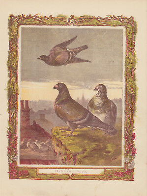 Homing Pigeon Birds With Baby Pigeons Antique Lithograph Art Print 1870