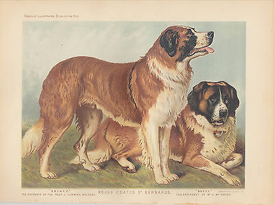 Vintage Saint Bernard Dogs Rough Coat St. Bernards Antique Dog Lithograph 1881
