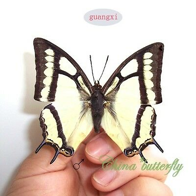 5 unmounted butterfly Nymphalidae Polyura narcaea GUANGXI A1 A1-