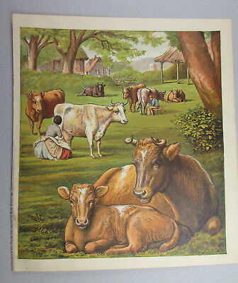 Humane Farming Dairy Farm Cows In Pasture Being Milked Antique Lithograph 1872