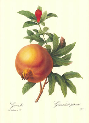 Vintage Fruit Print by Redoute ~ 10 by 13 inches ~ Pomegranite #50