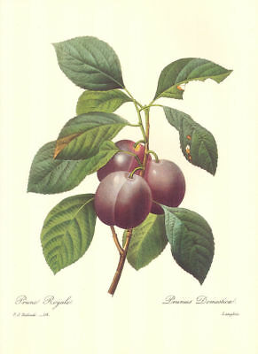 Vintage Fruit Print by Redoute ~ 10 by 13 inches ~ Royal Plums #114