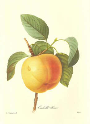 Vintage Fruit Print by Redoute ~ 10 by 13 inches ~Golden Apple #012