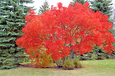 20 Flame Amur Maple Seeds Acer Ginnala Flame 500 Picclick