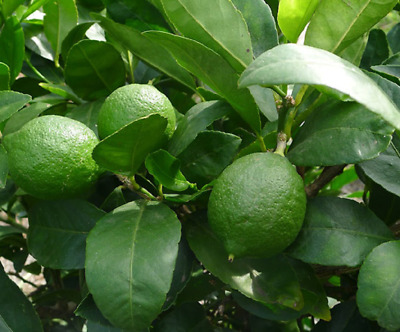 Citrus Lime Verde / Key Lime Fruit Tree 60-70cm Tall in a 2L Pot, Juicy Edible