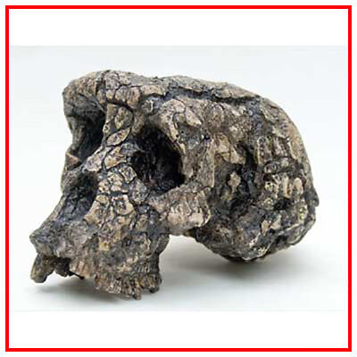 Reproduction FOSSILE crane Toumaï Sahelanthropus tchadensis Fossil skull replica
