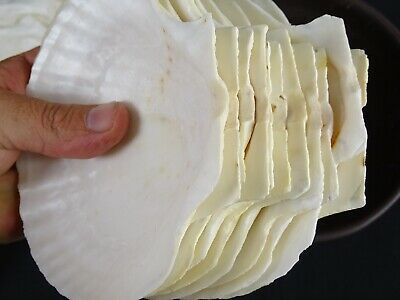 Chefs Lot - Collection of 12 Large Scallop Shells + four oversized ones Gourmet