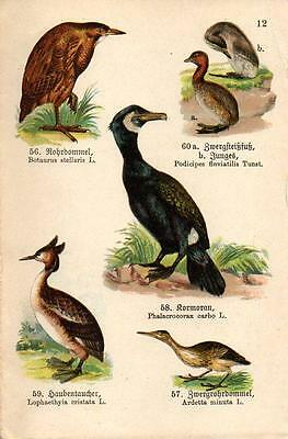 1910  SCHREIBER ATLAS CHROMO Birds: bittern, cormorant, crested & little grebe