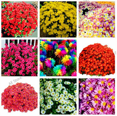 100 PCS Seeds Mixed Color Rare Ground Cover Chrysanthemum Bonsai Plants 2019 New