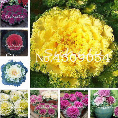 100 PCS Seeds Vegetable Brassica Oleracea Cabbage Bonsai Potted Flowers Plants N