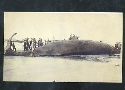 Real Photo Ocean City New Jersey Dead Whale Washed Ashore Postcard Copy