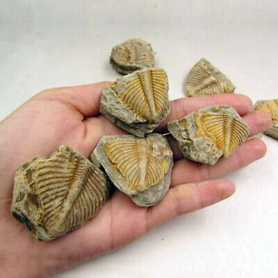 Trilobite Tail Fossil Specimens Fossils Science Teaching Stone Collection AU