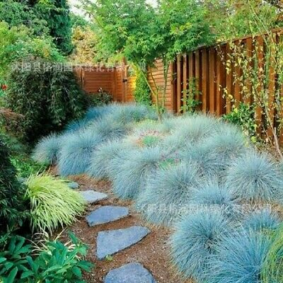 100pcs Blue Fescue Grass bonsais - (Festuca glauca) perennial hardy bonsai
