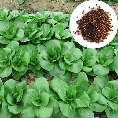 400 Pakchoi Seeds Chinese cabbage Green Vegetables Organic S035