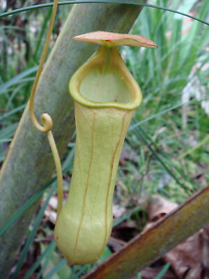 Nepenthes madagascariensis - Madagascar Pitcher Plant - 10 Seeds
