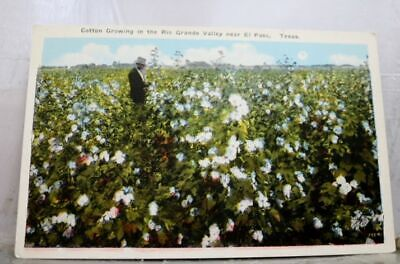 Texas TX El Paso Rio Grande Valley Cotton Crowing Postcard Old Vintage Card View
