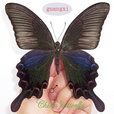 100 WHOLESALE unmounted butterfly papilionidae Lamproptera curia GUANGXI A1 A1
