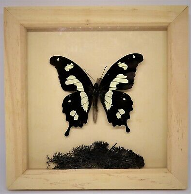 SWALLOWTAIL BUTTERFLY (Indonesia) pinned & framed specimen insect taxidermy