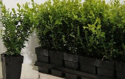 10X Box Hedging Plants -Buxus Sempervirens - Evergreen Trees - P9 Potted