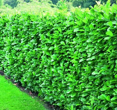 10X 3-4Ft Large Cherry Laurel Hedging Trees Evergreen Potted 3L Pots - Clearance