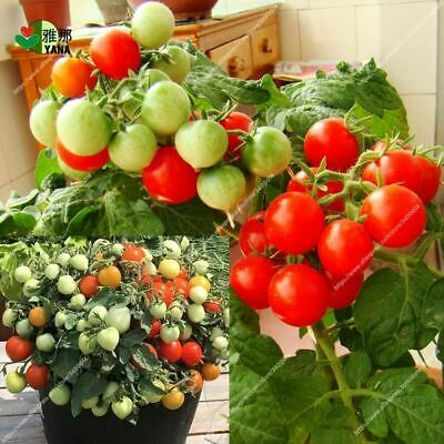 Potted Sweet Cherry Tomato seeds vegetable seeds Organic dwarf fruit Vegetable s