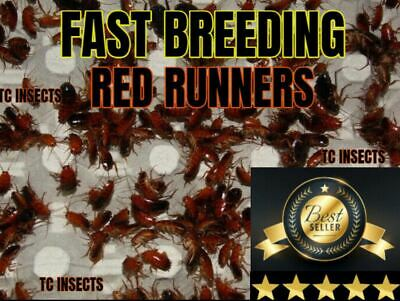 55+ LIVE RED RUNNER COLONY Roach Turkistan Roaches Cricket Dubia Insect Reptile