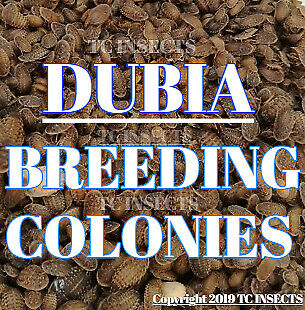 🏆 55+ DUBIA ROACH COLONY STARTER: Dubia Adults & Nymphs. Free Buffalo Beetles!
