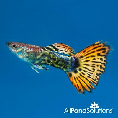 5 FEMALE GUPPIES for sale - Delivery possible - £7 00 | PicClick UK