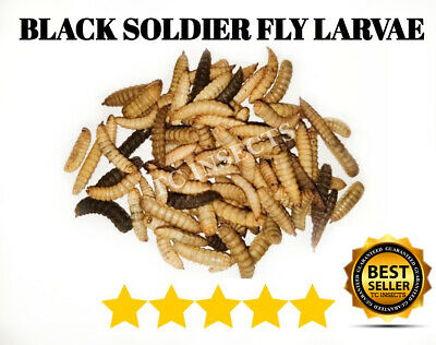 "LIVE BLACK SOLDIER FLY LARVAE LARGE 3/4"" Feeding Grade Reptile Food Worm Dubia !"
