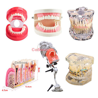 Dental Typodont Study Teeth Model Standard Adult  Analysis Demonstration 7 Type