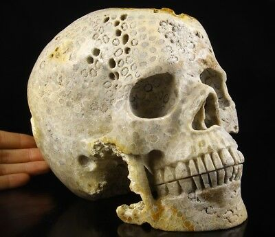 """Giant 8.3"""" Coral Fossil GEODE Carved Crystal Skull, Realistic, Healing#426"""