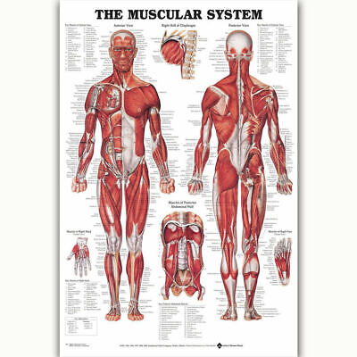273519 Muscular System Chart Human Body Medical Science POSTER PRINT DECOR AU