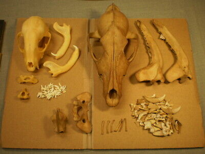 2 Taxidermy skeletons skulls for one price coyote and  raccoon