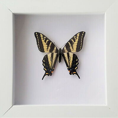 Framed REAL Butterfly Art Western Tiger Swallowtail Papilio rutulus White
