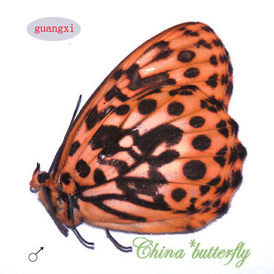 #12 COLLECTION  unmounted butterfly satyridae lethe satyrina  guanguxi CHINA A1