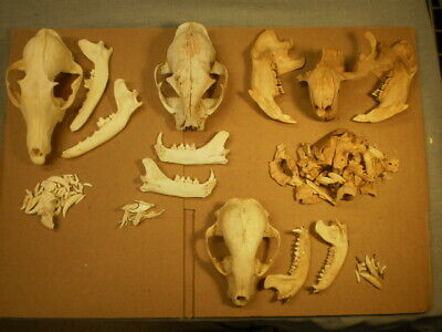 4 Taxidermy skeletons skulls for one price red fox, beaver, bobcat, raccoon