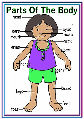 A4 POSTER SIGN Parts Of Body Educational EYFS SEN Children Kids  Childminders (2) - £2.95 | PicClick UK