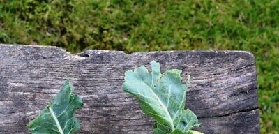 1400 Seeds Broccoli Chinese Kale Cabbage Kailaan Kichi Early Oriental