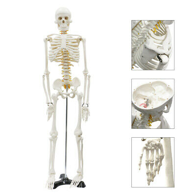 Life Size Medical Anatomical Human Skeleton Model with Rolling Stand 85CM 33.5""